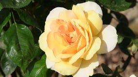 Schöne Gelbrose in einem Garten, Nahaufnahme stock video footage