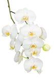 Schöne gentlie Niederlassung der weißen romantischen Orchidee blüht Stockfoto