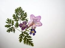 Schöne gepresste trockene Draufsichtdekoration der Blumen auf weißem Hintergrund lizenzfreies stockfoto