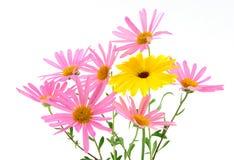 Schöne Gerberagänseblümchen Lizenzfreie Stockfotografie