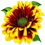 Schöne Gerberasblume Stockbilder