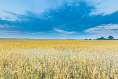 Schöne Getreideweidelandschaft fotografiert bei Sonnenaufgang Lizenzfreie Stockbilder
