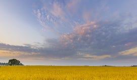Schöne Getreideweidelandschaft fotografiert bei Sonnenaufgang Stockfotografie
