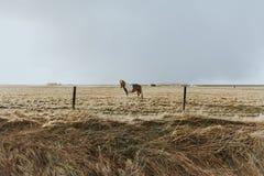 Schöne gewachsene wilde Ponystellung auf einem Gebiet des getrockneten Grases hinter einem verdrahteten Zaun lizenzfreies stockbild