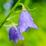 Schöne Glockenblume blüht mit Regentropfen auf einem grünen Unschärfe backg Stockfotografie