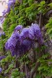 Schöne Glyzinie in der Blüte Italien Stockfotografie