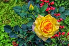 Schöne goldene Gelbrose und -knospe Stockbilder