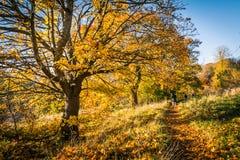 Schöne, goldene Herbstlandschaft mit Bäumen und goldene Blätter im Sonnenschein in Schottland lizenzfreie stockbilder
