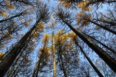 Schöne goldene Oberteile Herbstlärchenbäume gegen sauberen wolkenlosen blauen Himmel Stockfoto