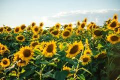 Schöne goldene Sonnenblumen Lizenzfreie Stockfotos
