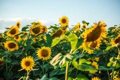 Schöne goldene Sonnenblumen Lizenzfreies Stockfoto