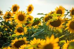 Schöne goldene Sonnenblumen Stockfoto