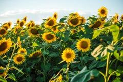 Schöne goldene Sonnenblumen Stockbilder