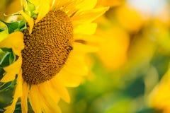 Schöne goldene Sonnenblumen u. x28; Abschluss-up& x29; Stockbild