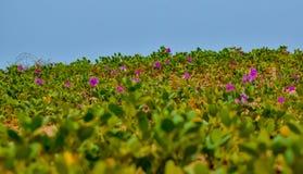 Schöne Gräser und Blumen auf einem Strand lizenzfreies stockfoto