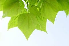 Schöne Grünblätter Stockfoto