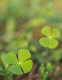 Schöne grüne Blätter des Wasserklees (Wasserfarn, Pepperwort) Lizenzfreie Stockfotografie