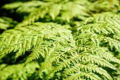 schöne grüne Farnblätter unter Sonnenlicht im Wald Stockbild