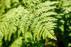 schöne grüne Farnblätter unter Sonnenlicht im Wald Lizenzfreie Stockfotografie