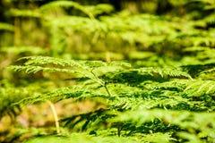 schöne grüne Farnblätter unter Sonnenlicht im Wald Stockfoto