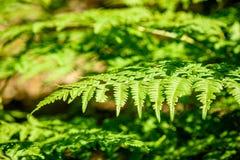 schöne grüne Farnblätter unter Sonnenlicht im Wald Stockbilder