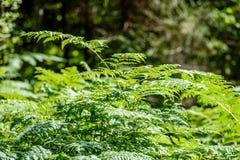 schöne grüne Farnblätter unter Sonnenlicht im Wald Lizenzfreies Stockbild
