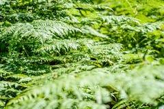 schöne grüne Farnblätter unter Sonnenlicht im Wald Lizenzfreies Stockfoto