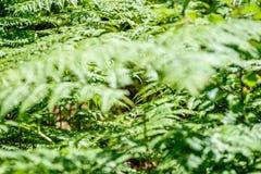 schöne grüne Farnblätter unter Sonnenlicht im Wald Stockfotografie