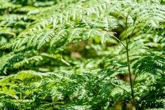 schöne grüne Farnblätter unter Sonnenlicht im Wald Lizenzfreie Stockfotos