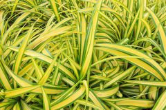 Schöne grüne gelbe Grünlilie Stockfoto