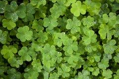 Schöne grüne Kleenahaufnahme Lizenzfreies Stockbild