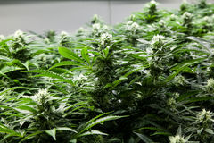 Schöne grüne Marihuanaknospen Stockbilder