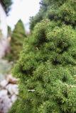 Schöne grüne Tannenzweige auf einer kleinen Tanne im Garten stockbild