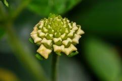 Schöne grüne und Sahneblume Lizenzfreies Stockfoto