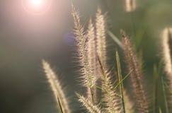 Schöne Grasblume lizenzfreie stockbilder