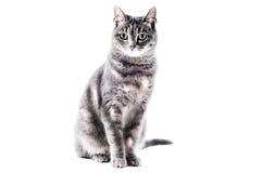 Schöne graue braune weiße gestreifte Katze stockbild