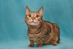 Schöne graue gestreifte Katze stockfotos