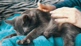 Schöne graue Katze legt auf den Schoss einer Frau, die ihn leicht streicht und er schnurrt und berührt seine Tatzen stock footage