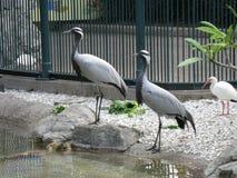Schöne graue Vögel! Stockbild