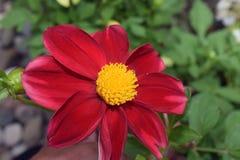 Schöne große bunte Dahlie in meinem Garten Lizenzfreie Stockfotos