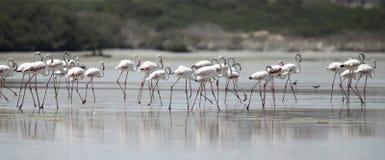 Schöne große Flamingos, die weg in das niedrige Gezeiten- Wasser sich bewegen Lizenzfreie Stockbilder