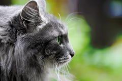 Schöne große graue Katze mit grünen Augen Stockfotografie