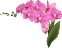 Schöne große rosa Orchideen lokalisiert auf Weiß lizenzfreie abbildung