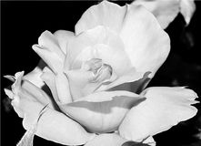 Schöne große Rosarose blühte Lizenzfreies Stockbild