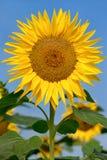 Schöne große Sonnenblume stockfotos
