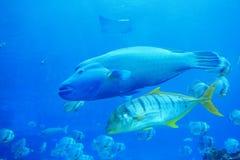 Schöne große zwei tropische Fische Lizenzfreies Stockbild