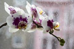 Schöne Gruppe der weißen und rosa Orchidee blüht in der Blüte mit den Knospen, der Innenphalaenopsis, punktiert mit den hellgelbe lizenzfreie stockfotos