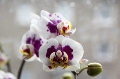 Schöne Gruppe der weißen und rosa Orchidee blüht in der Blüte mit den Knospen, der Innenphalaenopsis, punktiert mit den hellgelbe stockbilder