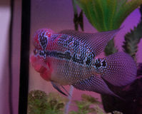 Schöne gute Farbe-Flowerhorn-Cichlidfische stockfoto
