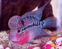 Schöne gute Farbe-Flowerhorn-Cichlidfische am Wasserbehälter mit blauem Hintergrund lizenzfreie stockfotos